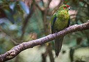 New Zealand, Pukaha Mount Bruce National Wildlife Centre, Red-crowned Parakeet (Cyanoramphus novaezelandiae) - WV000570