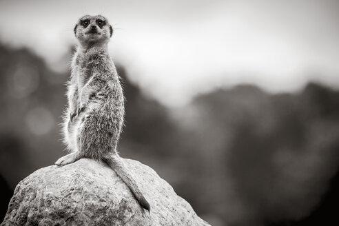 New Zealand, Wellington, Wellington Zoo, meerkat (Suricata suricatta) sitting on rock - WV000594