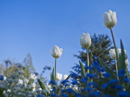 White tulips, Tulipa - AKF000359