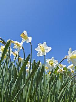 White daffodils, Narcissus - AKF000357