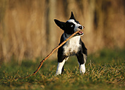 Border Collie puppy playing with a stick on a meadow - SLF000319