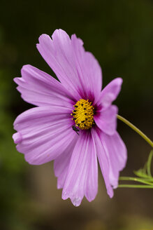 Pink cosmea, close up - SR000503