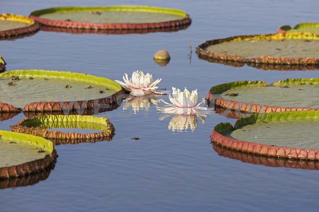 Brazil, Mato Grosso do Sul, Pantanal, Giant water lilies - FOF006450