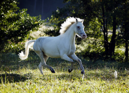 Germany, Welsh Pony galloping - SLF000322