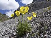 Austria, Carinthia, Carnic Alps, Rhaetian Alps poppy, Papaver alpinum subsp. rhaeticum - SIEF005255