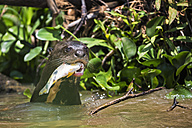 South America, Brasilia, Mato Grosso do Sul, Pantanal, Cuiaba River, Giant otter, Pteronura brasiliensis, with fish - FO006465