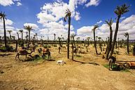 Morocco, Marrakesh-Tensift-El Haouz, Camels - THA000216