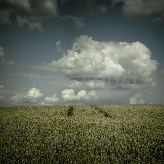 Germany, North Rhine-Westphalia, Wuppertal, Wheat field - DWIF000022 - Dirk Wüstenhagen/Westend61