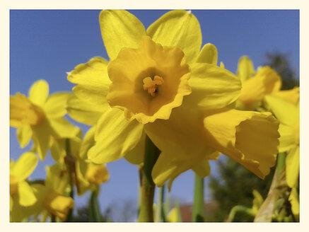 Daffodil, Narcissus, Narcissus pseudonarcissus, Brandenburg, Germany, Schulz village, - BFRF000396