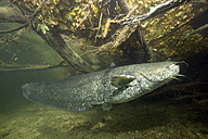 Germany, Bavaria, Wels catfish, Silurus glandis, in river Alz - YRF000010
