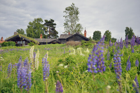Sweden, Taellberg, Log cabins and lupines - BR000288