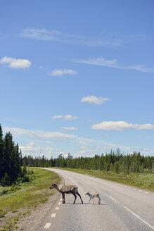 Sweden, Arvidjaur, Reindeer mother with young animal crossing road - BR000431