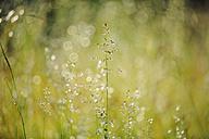 Sweden, Leksand, Drops of water on grass stalks - BR000324