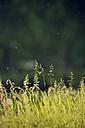 Sweden, Leksand, Drops of water on grass stalks - BR000320