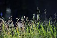 Sweden, Leksand, Drops of water on grass stalks - BR000317