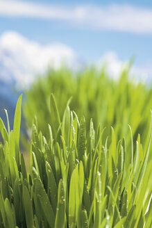 Germany, grasses and dewdrops in spring - CSF021221