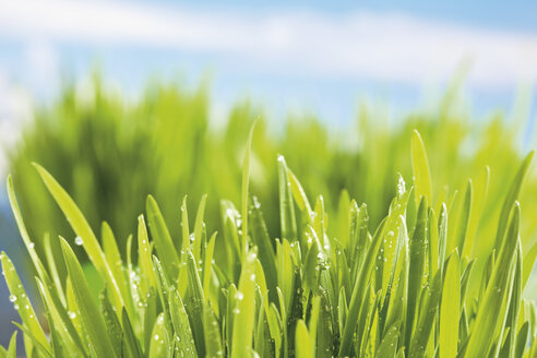 Germany, grasses and dewdrops in spring - CSF021222