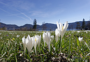 germany, Bavaria, Lake Walchensee, Crocuses, Crocus, on meadow - SIEF005279