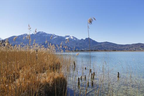 Germany, Bavaria, Upper Bavaria, Kochel, Herzogstand and Heimgarten, Reed at Lake Kochelsee - SIEF005277