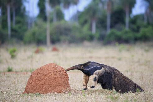 Brazil, Mato Grosso, Mato Grosso do Sul, Pantanal, giant anteater and termite hill - FO006473