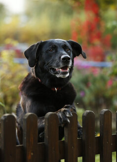 Portrait of black mongrel looking over garden fence - SLF000334