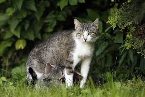 Lactating cat - SLF000343