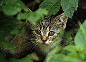 Portrait of tabby kitten sitting behind leaves - SLF000347