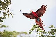 Brazil, Mato Grosso, Mato Grosso do Sul, Bonito, Buraco of Araras, flying scarlet macaw - FOF006510