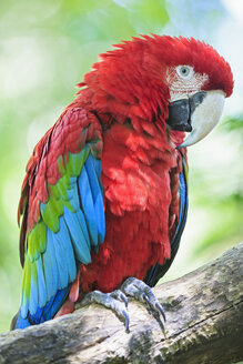 Brazil, Mato Grosso, Mato Grosso do Sul, portrait of scarlet macaw sitting on branch - FO006514