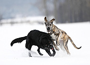 Irish Wolfhound puppy and black mongrel  playing together on snow-covered meadow - SLF000355