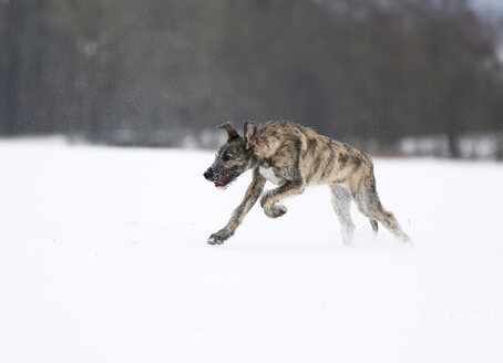 Irish Wolfhound puppy on snow-covered meadow - SLF000359