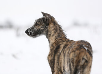 Irish Wolfhound puppy on snow-covered meadow - SLF000362