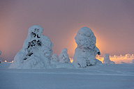 Scandinavia, Finland, Kittilae, Snow-covered pines against the light in the evening - SR000514