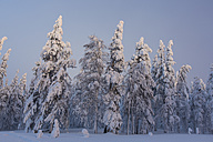 Scandinavia, Finland, Kittilae, Forest, snow-covered trees - SR000516