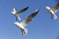 Germany, Schleswig-Holstein, Black-headed gulls - SR000508