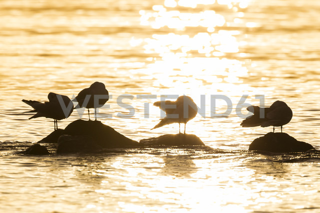 Germany, Schleswig-Holstein, Baltic Sea, Seagulls at sunrise - SR000507 - Stephan Rech/Westend61