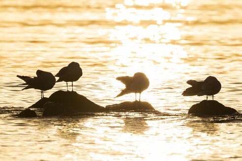 Germany, Schleswig-Holstein, Baltic Sea, Seagulls at sunrise - SR000507