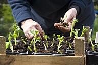 Woman repotting broad bean seedlings - HAWF000104