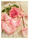 Rose petals, bright wooden table, wooden background, studio - CSF021248
