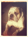 English Bulldog - CS021246