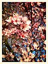 Blood plum, flowering tree (Prunus cerasifera 'Nigra'), Spring, Germany - CSF021239