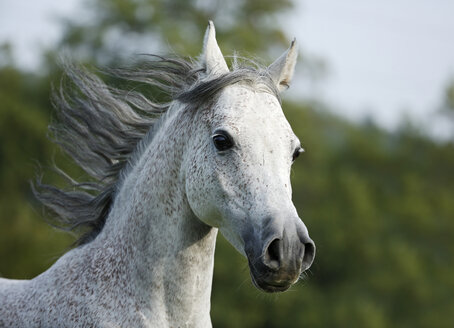 Germany, Baden-Wuerttemberg, Arabian horse, Equus ferus caballus, galloping - SLF000397