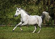 Germany, Baden-Wuerttemberg, Arabian horse, Equus ferus caballus - SLF000400