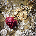 Germany, Baden-Wuerttemberg, Stuttgart, cemetery, Rose withered old stone plate, dried, mourning, remembrance, love, transience - WDF002491