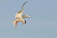 Germany, Schleswig-Holstein, Tern, sternidae - HACF000003