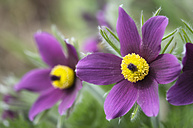 Two blossoms of pasqueflowers - ELF000935