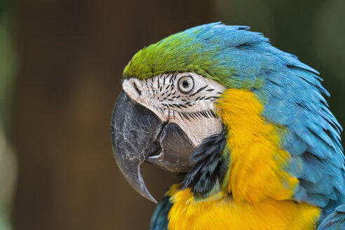 Brazil, portrait of blue and yellow macaw - FOF006492