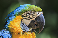 Brazil, portrait of blue and yellow macaw - FO006494