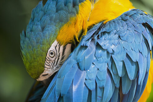 Brazil, portrait of blue and yellow macaw - FOF006496