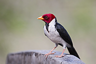 South America, Brasilia, Mato Grosso do Sul, Pantanal, Yellow-billed Cardinal, Paroaria capitata - FO006530